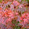 Buchholz Nsy - Acer palmatum Kunara Pygmy 2