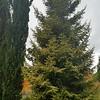 OG P orientalis Skylands - C macrocarpa Karoonda