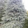 OG Picea englemanii Bush's Lace