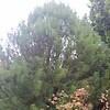 OG Cathaya argyrophylla 1