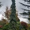 OG Picea glauca Pendula 2