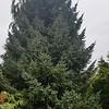 OG Picea omorika Brunns
