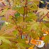 Whitman Farms - Acer Autumn Moon 1