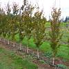 Whitman Farms - Beech 3YR 1