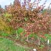 Whitman Farms - Acer palmaum Plantings 1
