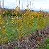 Whitman Farms - Poplus tremuloides 1
