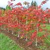 Whitman Farms - Acer palmaum Plantings 2