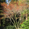 Acer palmatum 'Katsura'<br /> Just leafing out.