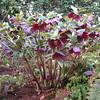 Hellebors Ashwood Purple seed strain