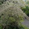 Cornus alternifolia 'Argentia'