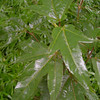 Acer fenzelianum<br /> DJHMV 173<br /> A very cool looking Maple from a Dan Hinkley collection in Vietnam.