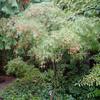 A linearlobum type Acer palmatum cultivar growing up by the house.