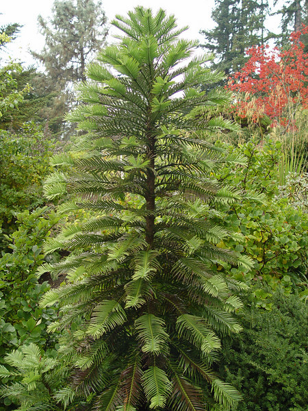 Wollemia noblis<br /> The very cool Wollemi Pine