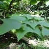 Alangium platanifolium