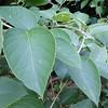 Actinidia ariantha