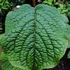 Stachyurus retusus