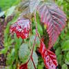 Carpinus aff. viminea