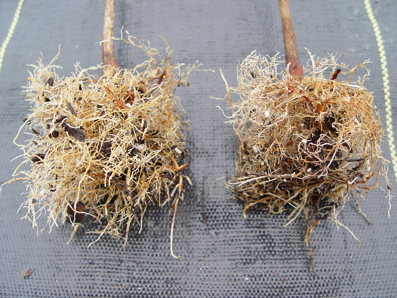 "<FONT COLOR=""yellow"">Acer griseum</FONT> <I>Washed out roots, the liner grown in the regular pot on the right has significantly fewer root endings & more deformed roots, the root system still maintains the square shape of the pot.</I>"