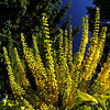 Mahonia x media 'Lionel Fortesque'