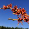 Hamamelis vernalis 'Orange Sunrise'