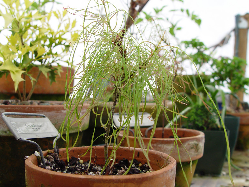 A 5 year old unnamed seedling selection grown from a batch of Acer palmatum 'Linearlobum' seedlings.