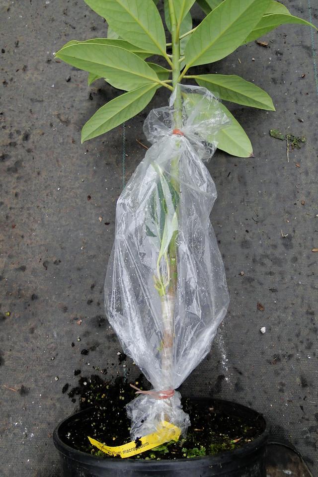 Daphniphyllum macromopdum