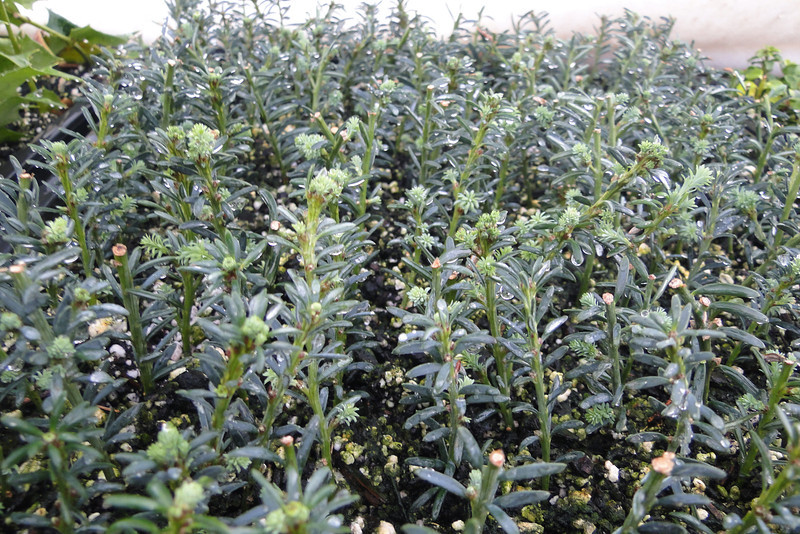 """<B>Podocarpus lawrencei Blue Form</B> We picked up this Blue Form of the Mountain Plumpine from <A HREF=""""http://www.cistus.com/"""" TARGET=""""_blank"""">Cistus Nursery</A> a few years ago & it's turned out to be a great garden plant so we thought we should make some cuttings of it."""