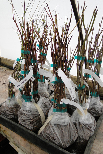 Wisteria grafts depotted & ready for shipping.<br /> December 7th 2012.