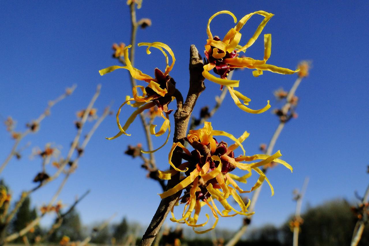 Hamamelis x intermedia 'Winter Beauty'