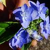 Hydrangea serrata 'Miyama Yae-murasaki'