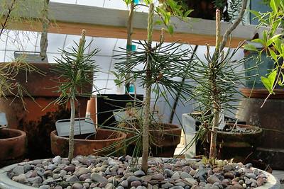 Pinus contorta <br /> Elk Lake Strain