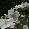 Rosa sericea ssp. omeiensis f. pteracantha