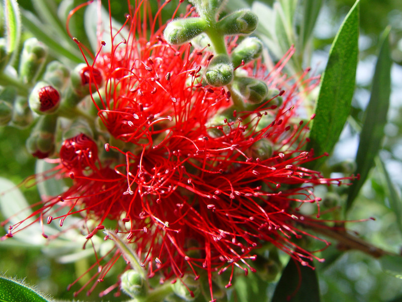 Callistemon citrinus 'Splendens'<br /> This also overwintered successfully but in a pot in the Greenhouse :^)..