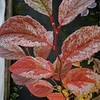 Stewartia pseudocamellia - Plantmad Variegated