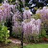 Wisteria floribunda 'Honbeni'