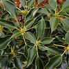 Trochodendron aralioides - Iseli Clone