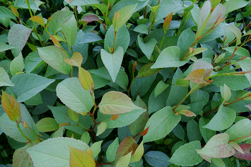 Stewartia pseudocamellia - Plantmad Pewter Form #1