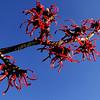 Hamamelis x intermedia 'Ruby Glow'