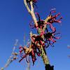 Hamamelis vernalis 'Purpurea'