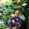 Lardizabala biternata