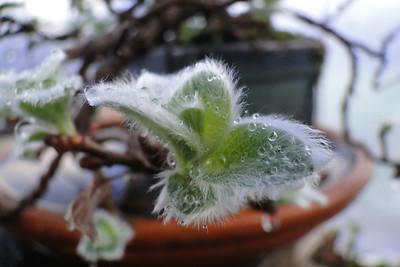 Salix nakamurana var. yezoalpina