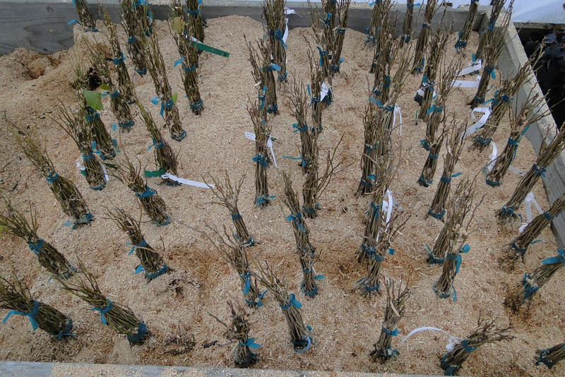 Rootstocks of Wisteria & Hamamelis patiently waiting to be grafted :^)..