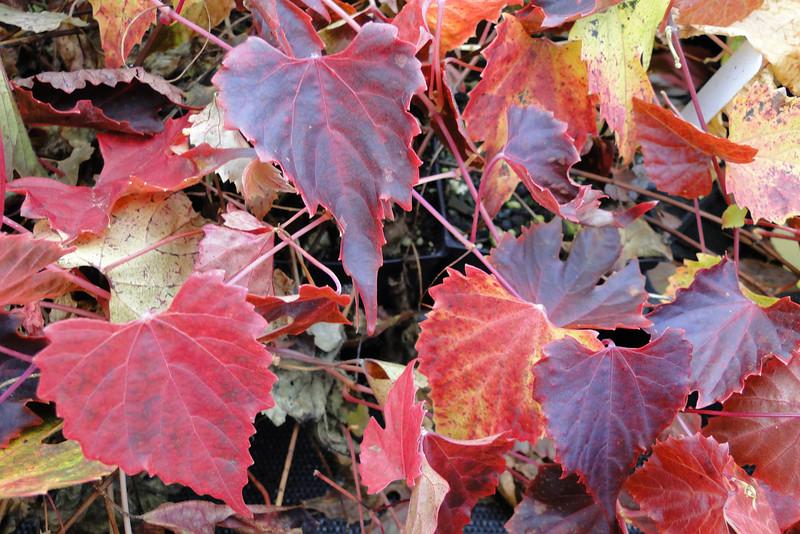 Vitis ficifolia var. lobata <br /> I picked this lovely little vine up at Heronswood Nursery back in 2003!
