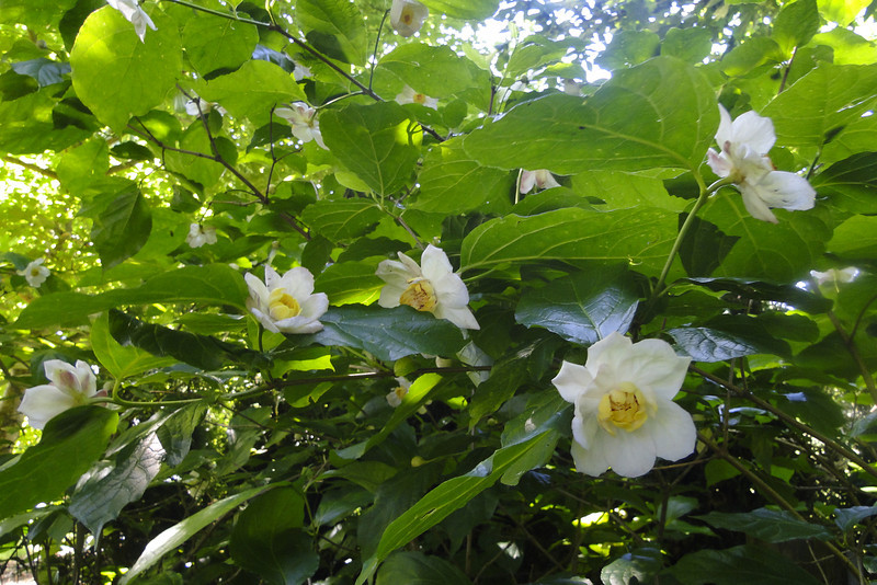 Calycanthus chinensis (syn. Sincalycanthus chinensis)