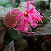 Loropetalum chinense 'Sizzling Pink'