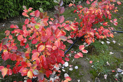 Fothergilla gardenii 'Windy City'<br /> This was the best looking Fothergilla in the garden this Fall.