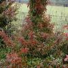 Stewartia sinensis - Compact Form