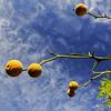 Poncirus trifoliata - JCRA Form