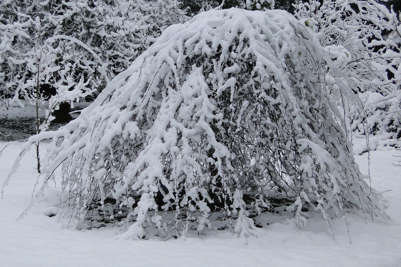 Snow on March 1st<br /> Carpinus betulus 'Pendula'