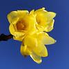 Chimonanthus praecox 'Su Xin La Mei'